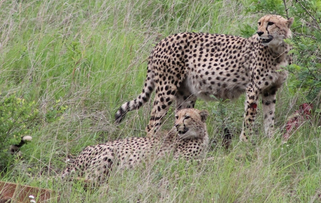 Two cheetah in Hluhluwe
