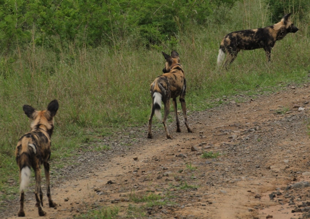 Wild Dogs on Hluhluwe